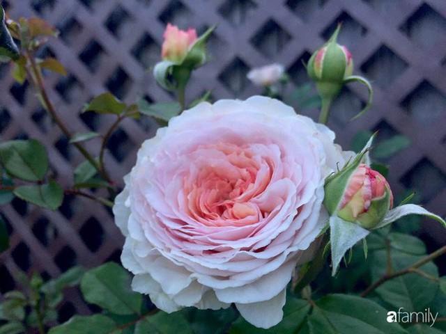 Mẹ Việt dồn hết tâm huyết để biến góc nhỏ trong vườn trở thành khu vườn hồng đẹp ngọt ngào - Ảnh 13.