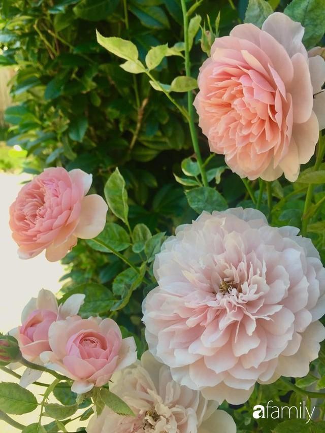Mẹ Việt dồn hết tâm huyết để biến góc nhỏ trong vườn trở thành khu vườn hồng đẹp ngọt ngào - Ảnh 16.