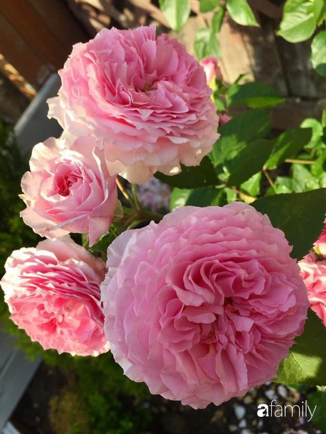 Mẹ Việt dồn hết tâm huyết để biến góc nhỏ trong vườn trở thành khu vườn hồng đẹp ngọt ngào - Ảnh 3.