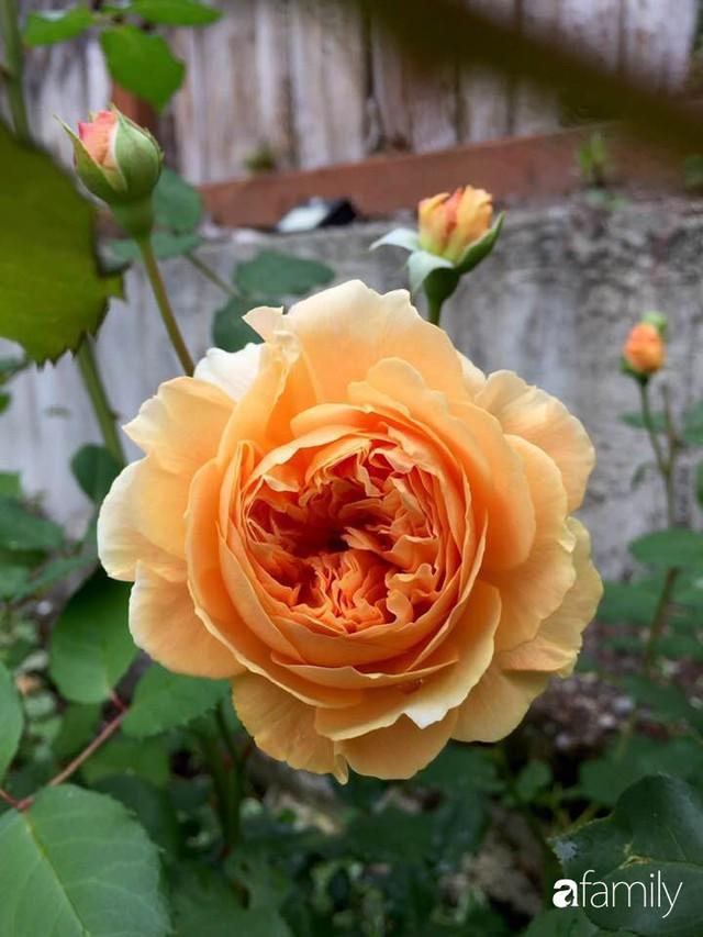 Mẹ Việt dồn hết tâm huyết để biến góc nhỏ trong vườn trở thành khu vườn hồng đẹp ngọt ngào - Ảnh 21.