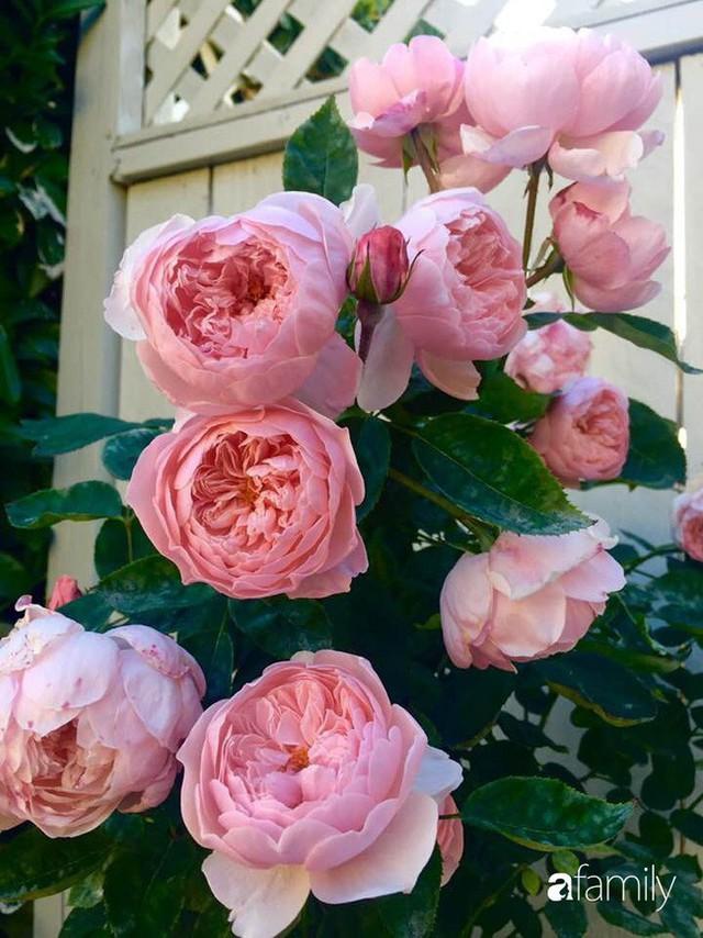 Mẹ Việt dồn hết tâm huyết để biến góc nhỏ trong vườn trở thành khu vườn hồng đẹp ngọt ngào - Ảnh 22.