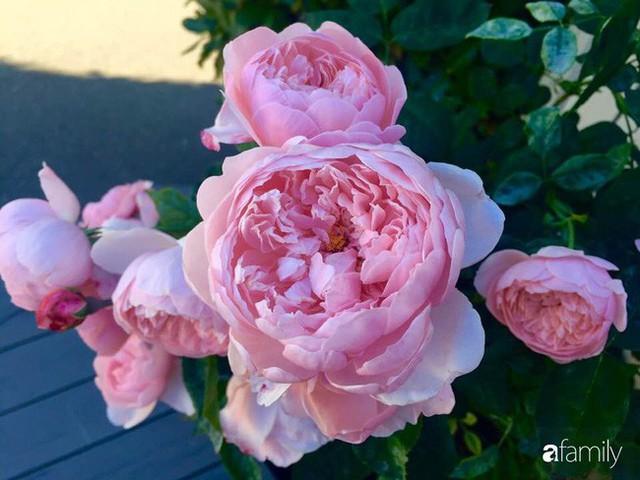 Mẹ Việt dồn hết tâm huyết để biến góc nhỏ trong vườn trở thành khu vườn hồng đẹp ngọt ngào - Ảnh 23.