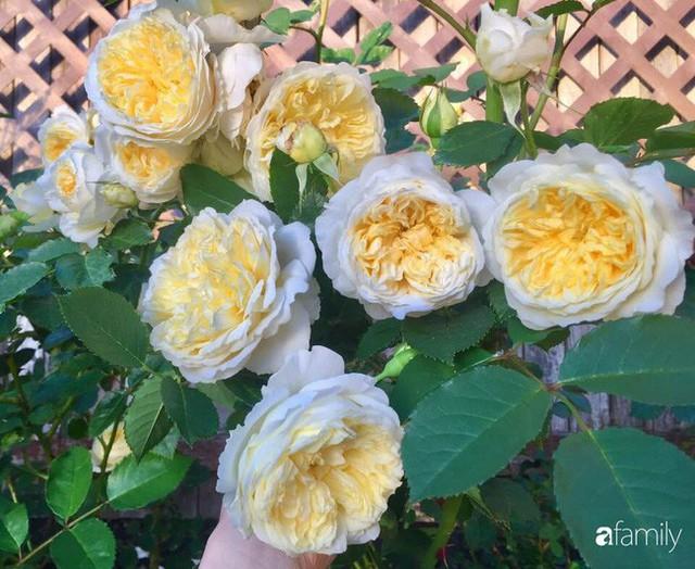 Mẹ Việt dồn hết tâm huyết để biến góc nhỏ trong vườn trở thành khu vườn hồng đẹp ngọt ngào - Ảnh 24.