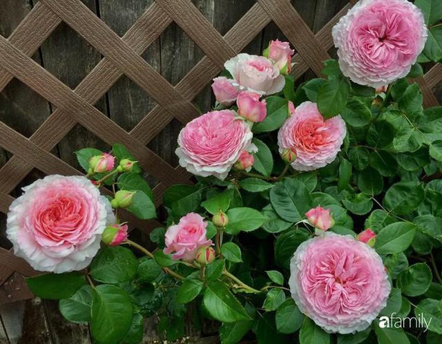 Mẹ Việt dồn hết tâm huyết để biến góc nhỏ trong vườn trở thành khu vườn hồng đẹp ngọt ngào - Ảnh 26.