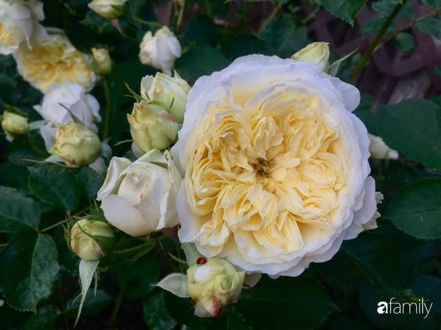 Mẹ Việt dồn hết tâm huyết để biến góc nhỏ trong vườn trở thành khu vườn hồng đẹp ngọt ngào - Ảnh 27.