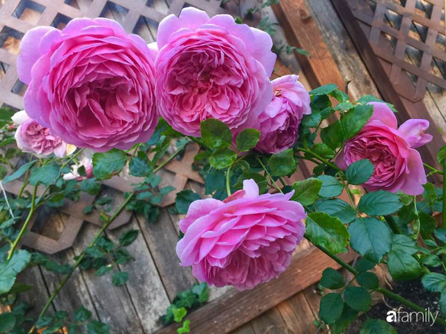 Mẹ Việt dồn hết tâm huyết để biến góc nhỏ trong vườn trở thành khu vườn hồng đẹp ngọt ngào - Ảnh 29.