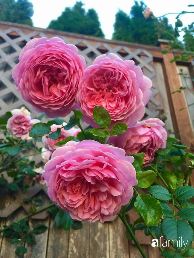 Mẹ Việt dồn hết tâm huyết để biến góc nhỏ trong vườn trở thành khu vườn hồng đẹp ngọt ngào - Ảnh 30.