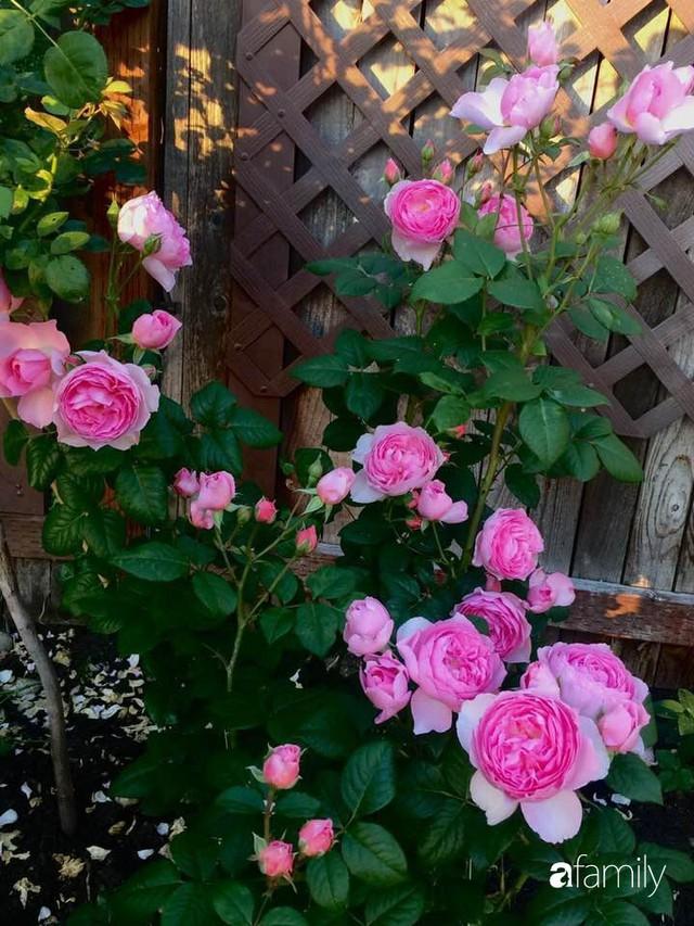 Mẹ Việt dồn hết tâm huyết để biến góc nhỏ trong vườn trở thành khu vườn hồng đẹp ngọt ngào - Ảnh 4.
