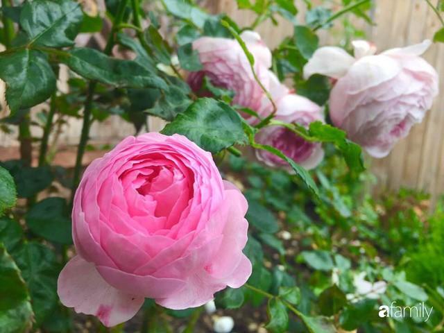 Mẹ Việt dồn hết tâm huyết để biến góc nhỏ trong vườn trở thành khu vườn hồng đẹp ngọt ngào - Ảnh 31.