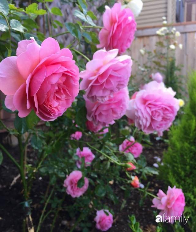 Mẹ Việt dồn hết tâm huyết để biến góc nhỏ trong vườn trở thành khu vườn hồng đẹp ngọt ngào - Ảnh 32.