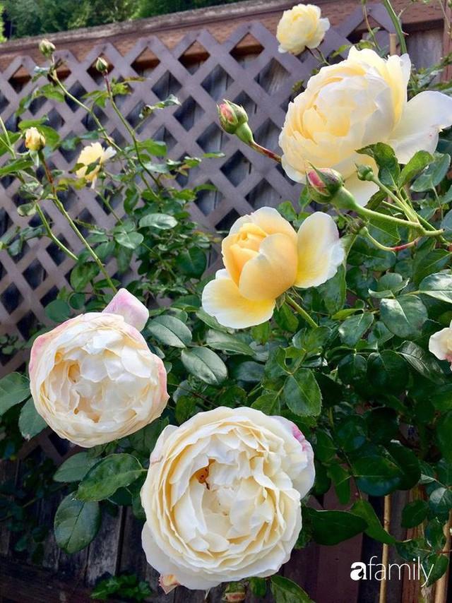 Mẹ Việt dồn hết tâm huyết để biến góc nhỏ trong vườn trở thành khu vườn hồng đẹp ngọt ngào - Ảnh 33.