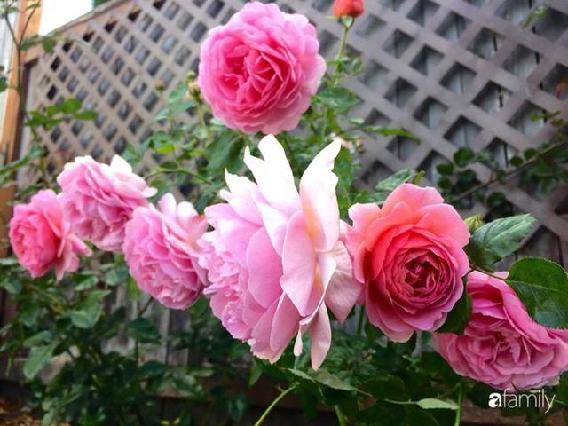 Mẹ Việt dồn hết tâm huyết để biến góc nhỏ trong vườn trở thành khu vườn hồng đẹp ngọt ngào - Ảnh 34.