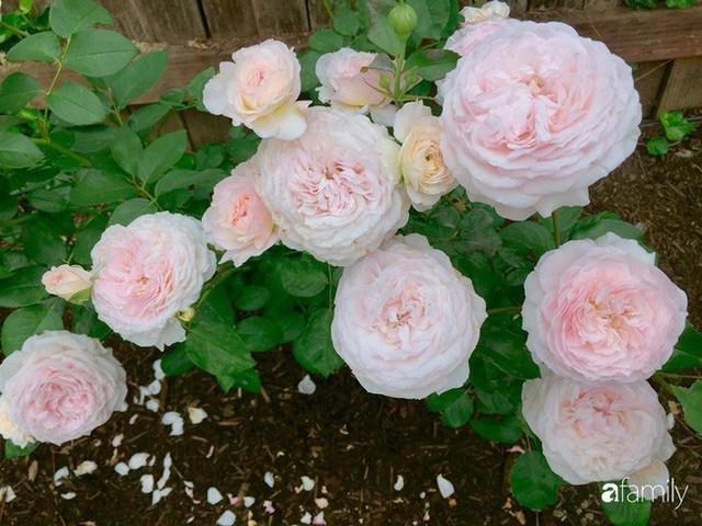 Mẹ Việt dồn hết tâm huyết để biến góc nhỏ trong vườn trở thành khu vườn hồng đẹp ngọt ngào - Ảnh 35.