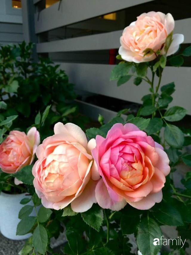 Mẹ Việt dồn hết tâm huyết để biến góc nhỏ trong vườn trở thành khu vườn hồng đẹp ngọt ngào - Ảnh 37.