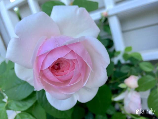 Mẹ Việt dồn hết tâm huyết để biến góc nhỏ trong vườn trở thành khu vườn hồng đẹp ngọt ngào - Ảnh 38.