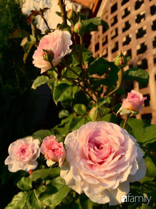 Mẹ Việt dồn hết tâm huyết để biến góc nhỏ trong vườn trở thành khu vườn hồng đẹp ngọt ngào - Ảnh 39.