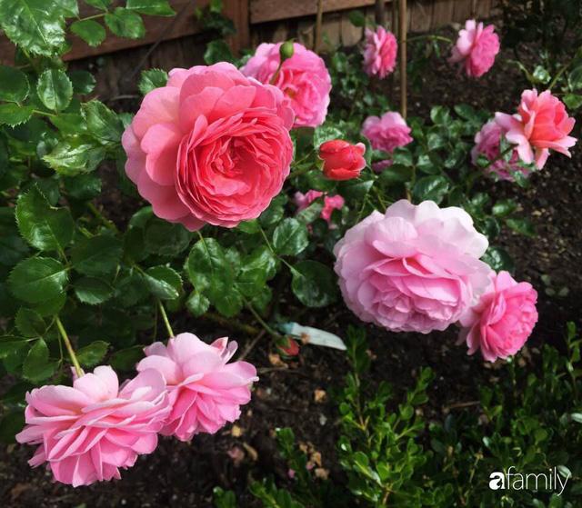 Mẹ Việt dồn hết tâm huyết để biến góc nhỏ trong vườn trở thành khu vườn hồng đẹp ngọt ngào - Ảnh 5.