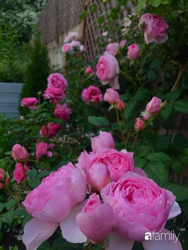 Mẹ Việt dồn hết tâm huyết để biến góc nhỏ trong vườn trở thành khu vườn hồng đẹp ngọt ngào - Ảnh 6.