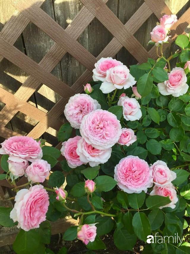 Mẹ Việt dồn hết tâm huyết để biến góc nhỏ trong vườn trở thành khu vườn hồng đẹp ngọt ngào - Ảnh 7.