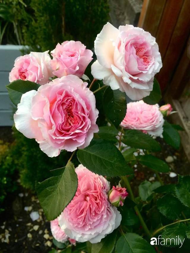 Mẹ Việt dồn hết tâm huyết để biến góc nhỏ trong vườn trở thành khu vườn hồng đẹp ngọt ngào - Ảnh 8.