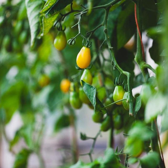Người đàn ông tự trồng rau quả sạch trên khu vườn rộng 225m² của gia đình ở ngoại ô - Ảnh 13.