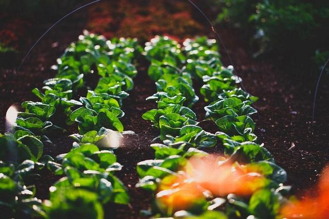Người đàn ông tự trồng rau quả sạch trên khu vườn rộng 225m² của gia đình ở ngoại ô - Ảnh 2.