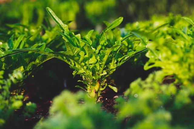 Người đàn ông tự trồng rau quả sạch trên khu vườn rộng 225m² của gia đình ở ngoại ô - Ảnh 7.