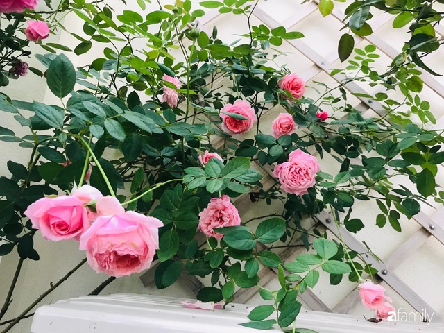 Ngày 20/11 ghé thăm vườn hồng trên sân thượng khoe sắc rực rỡ của cô giáo dạy nhạc xứ Thanh - Ảnh 11.