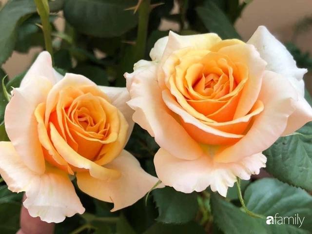 Ngày 20/11 ghé thăm vườn hồng trên sân thượng khoe sắc rực rỡ của cô giáo dạy nhạc xứ Thanh - Ảnh 17.