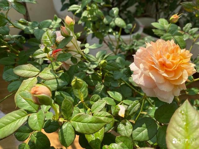 Ngày 20/11 ghé thăm vườn hồng trên sân thượng khoe sắc rực rỡ của cô giáo dạy nhạc xứ Thanh - Ảnh 18.