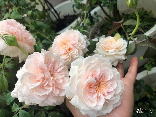 Ngày 20/11 ghé thăm vườn hồng trên sân thượng khoe sắc rực rỡ của cô giáo dạy nhạc xứ Thanh - Ảnh 21.