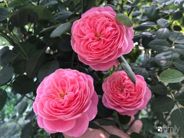 Ngày 20/11 ghé thăm vườn hồng trên sân thượng khoe sắc rực rỡ của cô giáo dạy nhạc xứ Thanh - Ảnh 28.