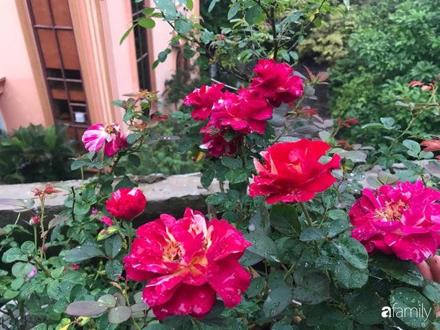 Ngày 20/11 ghé thăm vườn hồng trên sân thượng khoe sắc rực rỡ của cô giáo dạy nhạc xứ Thanh - Ảnh 29.