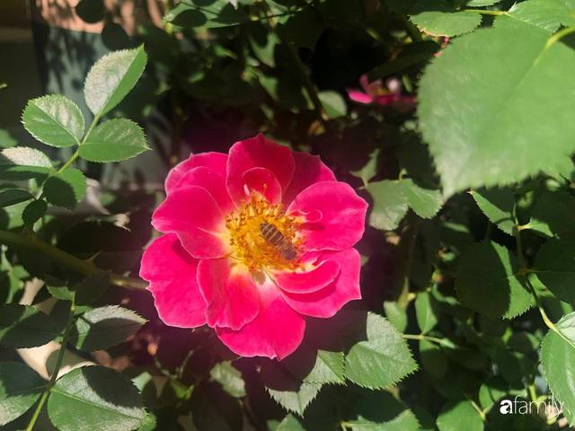 Ngày 20/11 ghé thăm vườn hồng trên sân thượng khoe sắc rực rỡ của cô giáo dạy nhạc xứ Thanh - Ảnh 30.