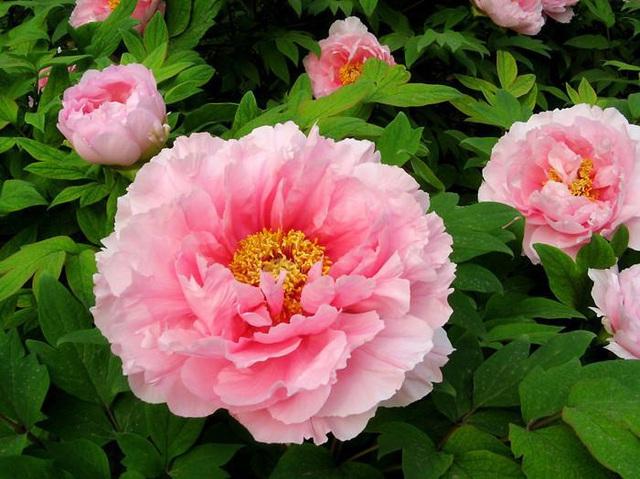 4 loại thảo dược trong Anti-Aging Cream Fedora giúp da hồng hào căng bóng sau tuổi 30 - Ảnh 4.
