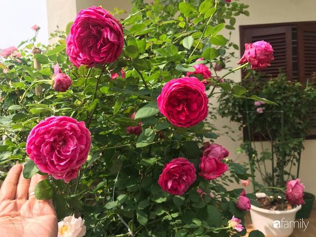 Ngày 20/11 ghé thăm vườn hồng trên sân thượng khoe sắc rực rỡ của cô giáo dạy nhạc xứ Thanh - Ảnh 31.
