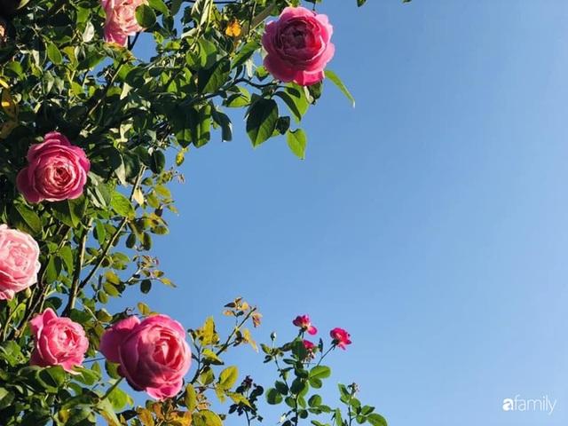 Ngày 20/11 ghé thăm vườn hồng trên sân thượng khoe sắc rực rỡ của cô giáo dạy nhạc xứ Thanh - Ảnh 34.