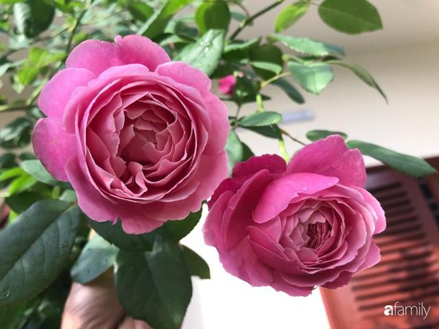 Ngày 20/11 ghé thăm vườn hồng trên sân thượng khoe sắc rực rỡ của cô giáo dạy nhạc xứ Thanh - Ảnh 37.