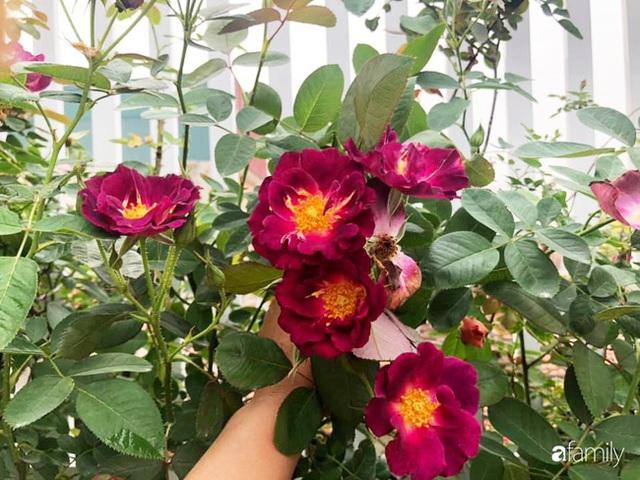 Ngày 20/11 ghé thăm vườn hồng trên sân thượng khoe sắc rực rỡ của cô giáo dạy nhạc xứ Thanh - Ảnh 6.