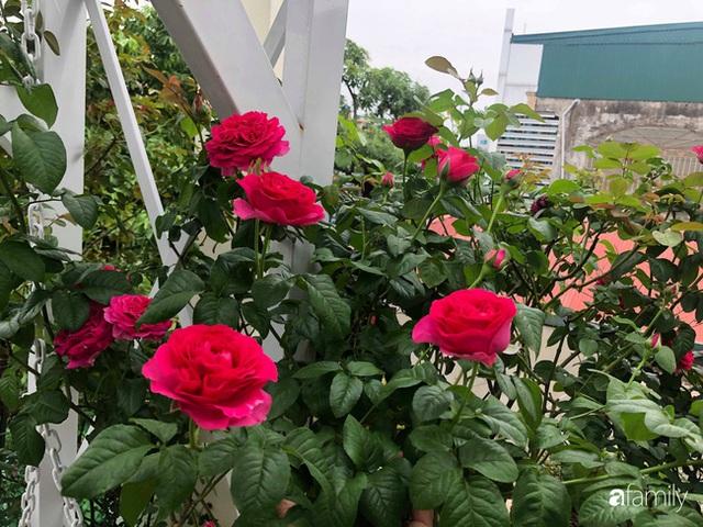 Ngày 20/11 ghé thăm vườn hồng trên sân thượng khoe sắc rực rỡ của cô giáo dạy nhạc xứ Thanh - Ảnh 7.