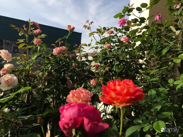 Ngày 20/11 ghé thăm vườn hồng trên sân thượng khoe sắc rực rỡ của cô giáo dạy nhạc xứ Thanh - Ảnh 8.