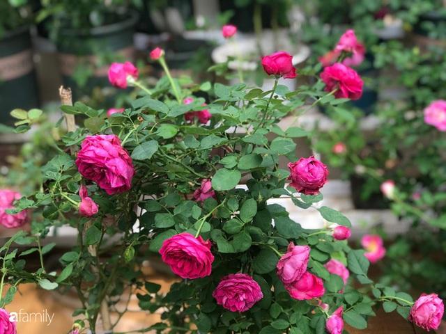 Ngày 20/11 ghé thăm vườn hồng trên sân thượng khoe sắc rực rỡ của cô giáo dạy nhạc xứ Thanh - Ảnh 9.