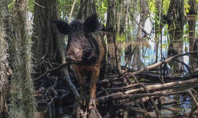 Một phụ nữ bị đàn lợn rừng giết chết ở Mỹ - Ảnh 1.
