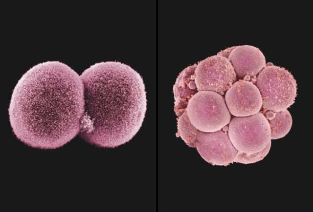 Tiến trình trứng gặp tinh trùng thụ thai - Ảnh 5.