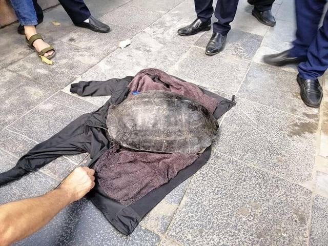 Bắt cụ rùa nặng hơn 10kg ở hồ Hoàn Kiếm - Ảnh 2.