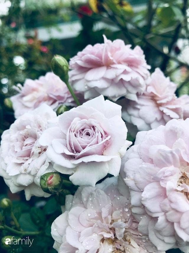 Khu vườn hoa hồng với đủ loại từ nội đến ngoại rộng 100m² ở Quảng Ninh - Ảnh 12.
