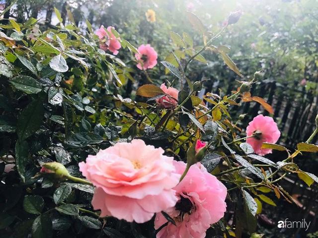 Khu vườn hoa hồng với đủ loại từ nội đến ngoại rộng 100m² ở Quảng Ninh - Ảnh 13.