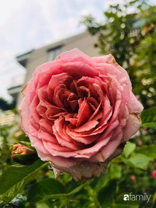 Khu vườn hoa hồng với đủ loại từ nội đến ngoại rộng 100m² ở Quảng Ninh - Ảnh 15.