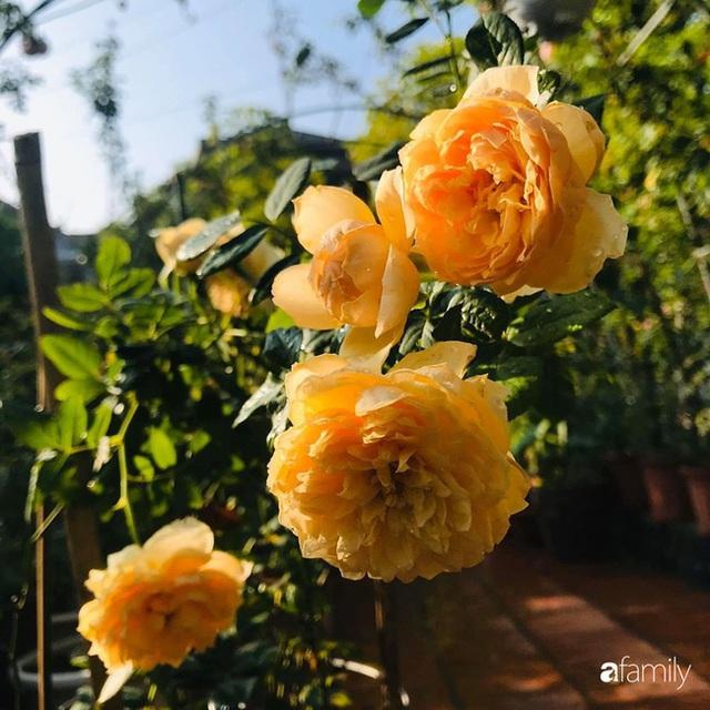 Khu vườn hoa hồng với đủ loại từ nội đến ngoại rộng 100m² ở Quảng Ninh - Ảnh 16.
