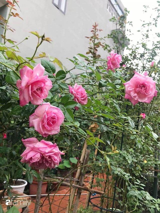 Khu vườn hoa hồng với đủ loại từ nội đến ngoại rộng 100m² ở Quảng Ninh - Ảnh 19.